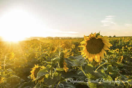 IMG_3985-sunflowers-williams-stephanie-farrell-photography-2015