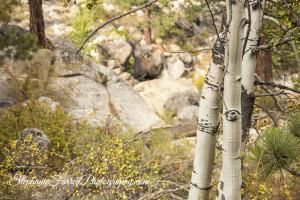 IMG_9891-fall-High-Sierras--Aspen-Stephanie-Farrell-Photography-2015