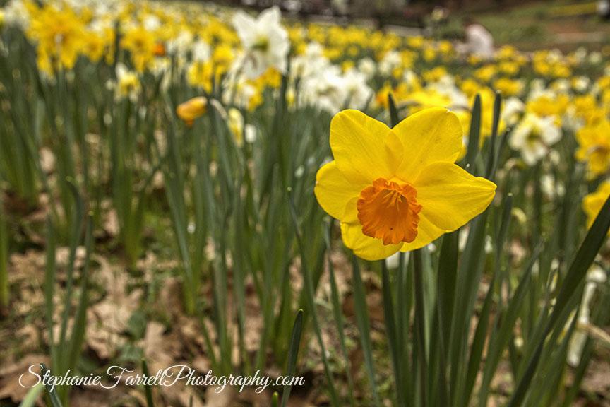 Daffodil-Hill-Amador-2016-stephanie-farrell-IMG_8197