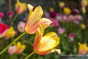 IMG_0603-crystal-hermitage-garden-anonda-nevada-city-2016-tulip
