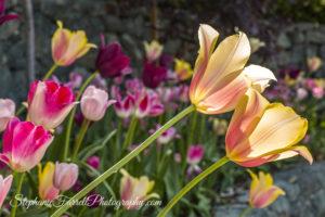 IMG_0607-crystal-hermitage-garden-anonda-nevada-city-2016-tulip