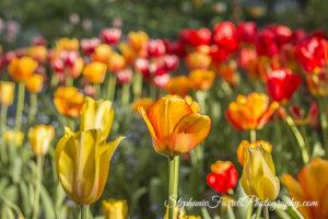 IMG_0623-b-crystal-hermitage-garden-anonda-nevada-city-2016-tulip