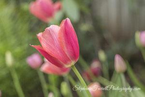 IMG_0639-b-crystal-hermitage-garden-anonda-nevada-city-2016-tulip