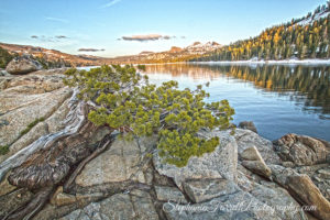 old-tree-caples-lake-2016-stephanie-farrell-IMG_6373