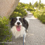 Buster-high-sierra-dog-hiking--stephanie-farrell-photography-2015-IMG_7022