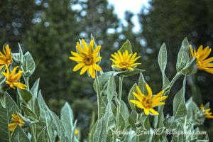 Woods-Lake-campground-highway-88-Sierras-California-scenic-yellow-flowers-2016-farrell-focus-IMG_7708