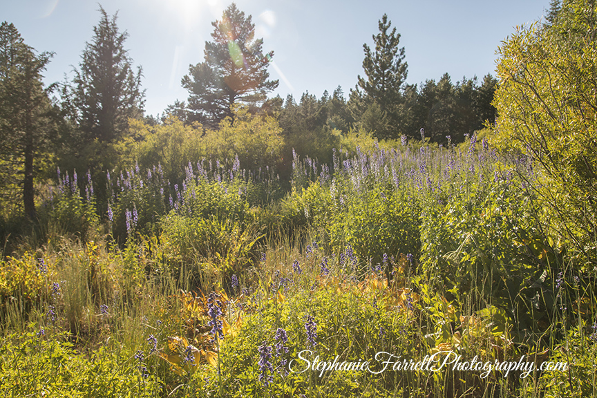 high-sierra-wildflowers-2016-IIMG_7935