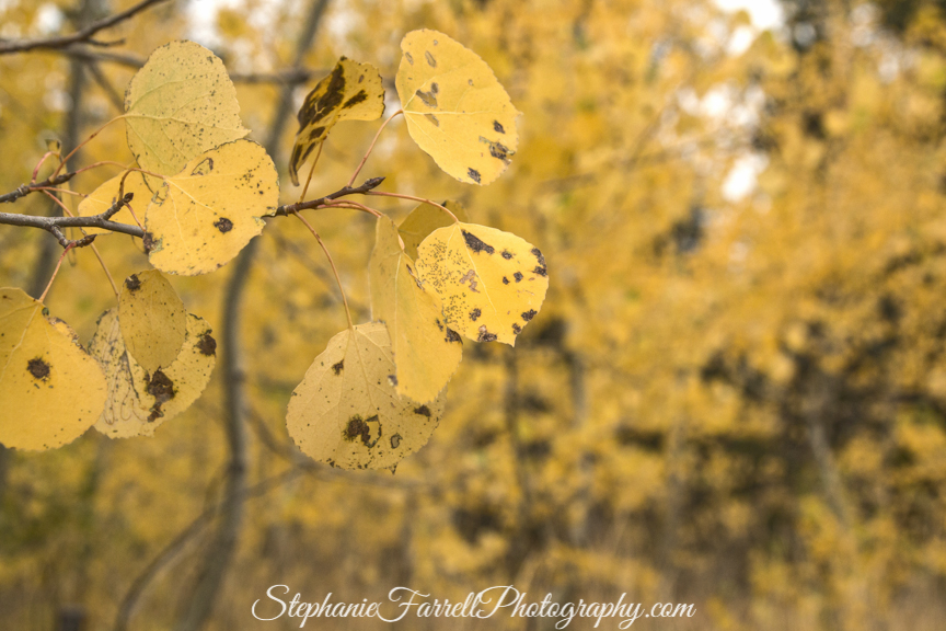 upcountry-fall-leaves-kirkwood-1981