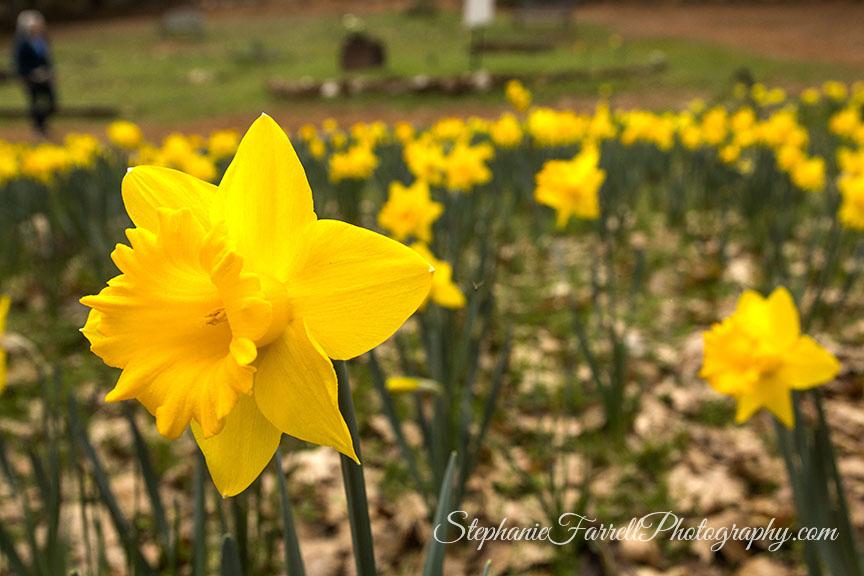 Daffodil-Hill-Amador-2016-stephanie-farrell-IMG_8193
