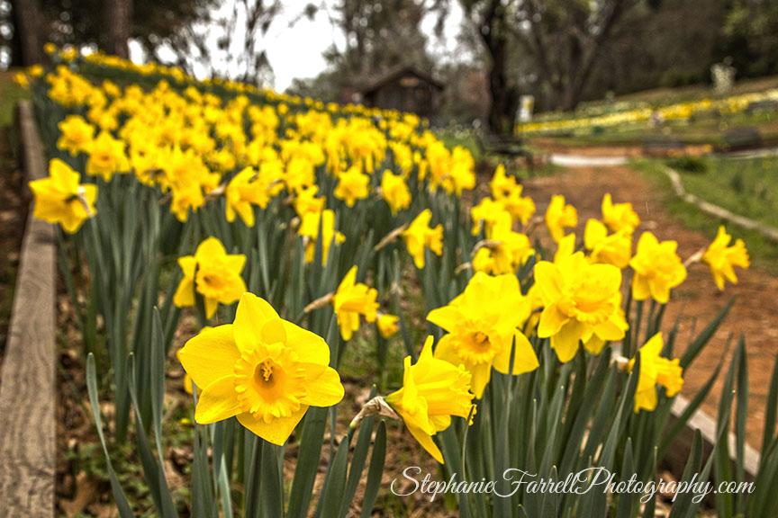 Daffodil-Hill-Amador-2016-stephanie-farrell-IMG_8203