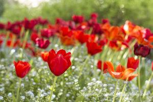 IMG_0439-b-crystal-hermitage-garden-anonda-nevada-city-2016-tulip