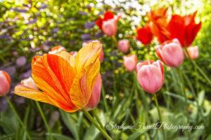 IMG_0451-crystal-hermitage-garden-anonda-nevada-city-2016-tulip