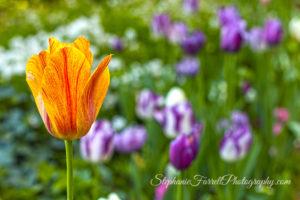 IMG_0464-crystal-hermitage-garden-anonda-nevada-city-2016-tulip