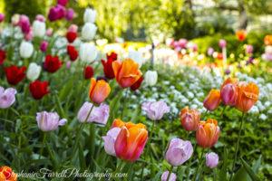 IMG_0494-crystal-hermitage-garden-anonda-nevada-city-2016-tulip
