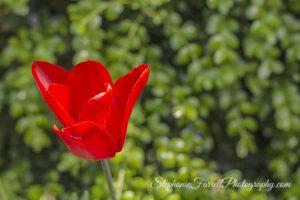 IMG_0559-b-crystal-hermitage-garden-anonda-nevada-city-2016-tulip