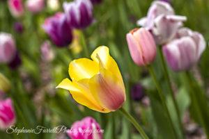 IMG_0620-crystal-hermitage-garden-anonda-nevada-city-2016-tulip