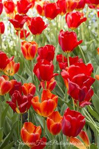 IMG_0643-b-crystal-hermitage-garden-anonda-nevada-city-2016-tulip