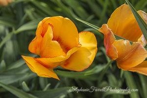 IMG_0657-crystal-hermitage-garden-anonda-nevada-city-2016-tulip