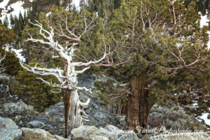 white-tree-carson-pass-2016-stephanie-farrell-IMG_6339